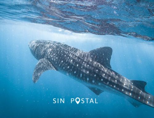 Nado con Tiburón Ballena – Guía de Viaje